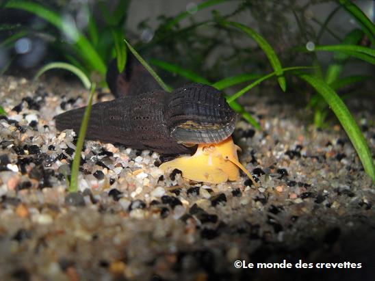 Mes nouveau Tylomelania 20091003_36-13b818c