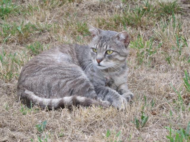 Spider chat tigré gris mâle FIV+ de 08/2005 - dpt 56 Img_0261-1eb8c4d