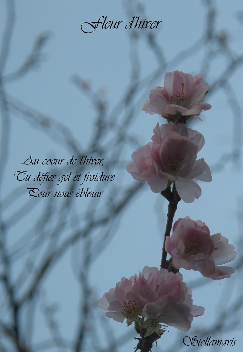 Fleur d'hiver / / Au coeur de l'hiver, / Tu défies gel et froidure / Pour nous éblouir. / / Stellamaris