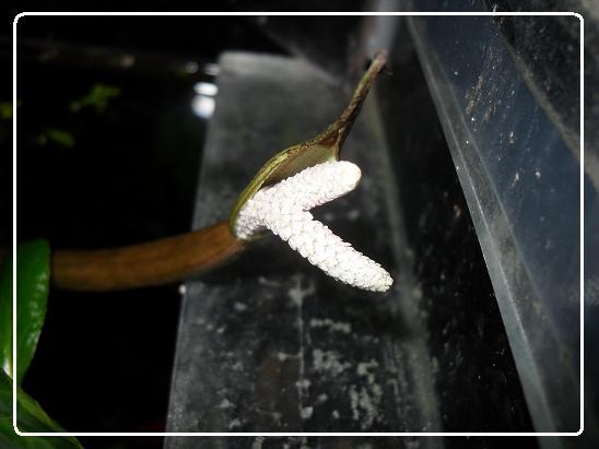 L'évolution d'une fleure  Aponogeton boivinianus Sdc12625-1ede83b