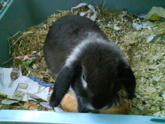 petit lapin male belier noir a collier sur longwy Dsc00290-1618046