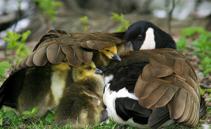 animaux-canard-couvee-flora