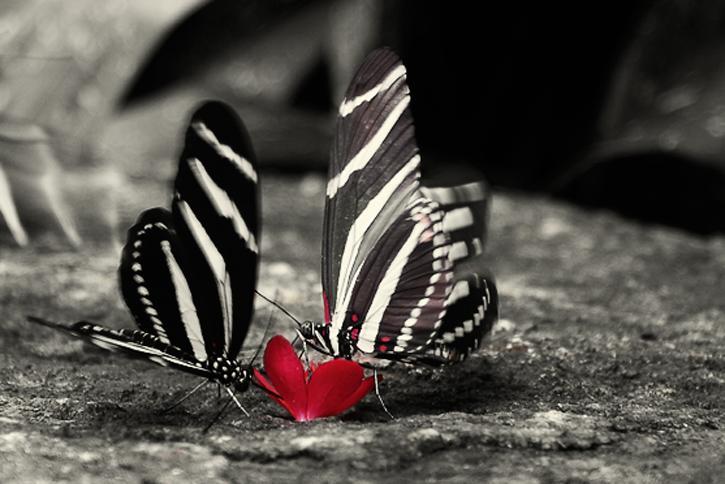 beaux-papillons-noir-et-blanc-flora