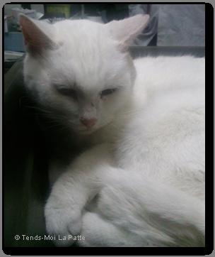 NOUTH femelle blanche très très câline de 10 ans Nouth---co--01-2239745